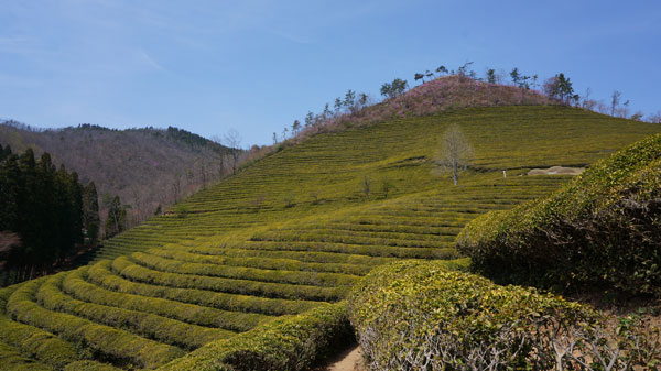 Delicious green tea, almost ready for the picking.